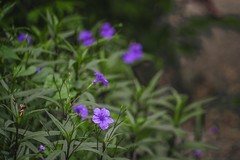 Flowers (proyectoasis) Tags: