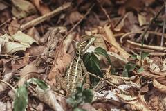 Lizard (proyectoasis) Tags: