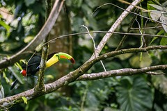 Keel billed Toucan (proyectoasis) Tags: