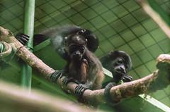 Howler Monkeys (proyectoasis) Tags:
