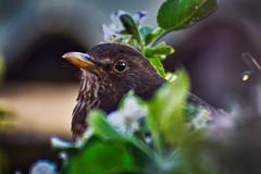 Amsel ,Weibchen (heiko bo) Tags: heikobo vogel amsel amselweibchen blüten frühling garten apfelblüte natur thüringen thüringerwald frühlingserwachen