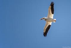 Flyby (Fly Sandman) Tags: bird pelican americanwhitepelican wildlifesafaripark ashland nebraska flight inflight black white backlight sky wings feathers wildlife