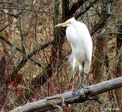 Great Egret (Lois McNaught) Tags: greategret bird avian nature wildlife hamilton ontario canada