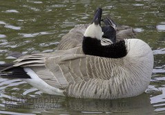 goose yoga (zawaski -- Thank you for your visits & comments) Tags: alberta serves beauty 4hire naturallight noflash canada zawaski©2019 calgary love ambientlight lovepeace editing canonefs55250mmf456isstm