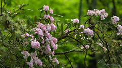 Tennessee Mountain Laurel (dan@propeakphotography.com) Tags: america famousplace flora flowers forest gsmnp greatsmokymountainsnationalpark green internationallandmark moss mountainlaurel mountains nps northamerica pink places spring tennessee touristattraction traveldestination travelandtourism trees unescoworldheritagesite usa unitedstates townsend unitedstatesofamerica pinnaclephotography 125faves