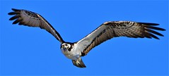 2019.04.22.9302 I See You There (Brunswick Forge) Tags: 2019 florida grouped bird birds outdoor outdoors animal animals animalportraits osprey raptor air sky favorited commented