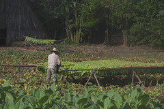 Tobacco cultivation in the Pinar Del Rio Province of Cuba near Viñales, 03-29-2019 028 (Richard Hurd) Tags: vinales cuba tobacco mountains landscape guaniguanico órganos mogotes valley valle coffee agriculture pinardelrio
