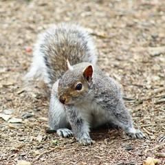606C45CF-EC83-49F5-9FE4-3DE94BC1AAF1 (Hawkins1977) Tags: squirrel wildlife wildlifepgotography canon spring april outdoor wildnature natureza