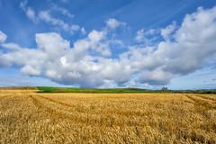 Islay Barley Octomore (HumbleWanderer) Tags: fullcolour 2017 distillery islay barley scotland wanderingspiritsglobal bruichladdich amandareid whisky september harvest portcharlotte unitedkingdom