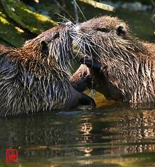 """Des caresses avec les """"mains"""" en plus ! (mamnic47 - Over 10 millions views.Thks!) Tags: ragondin myocastorcoypus 20042019 maresaintjames accouplement couple 6c8a3994"""