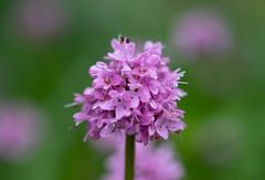 Sea Blush (RebelRob) Tags: wild wildflowers plectritiscongesta seablush vancouverisland victoriabc spring