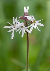 Woodland Star (RebelRob) Tags: wild wildflowers lithophragmaglabrum woodlandstar vancouverisland victoriabc spring