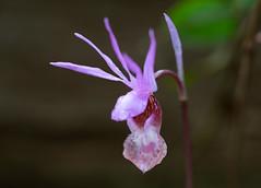 Fairy Slipper orchid (RebelRob) Tags: wild wildflowers calypsobulbosa fairyslipperorchid orchids vancouverisland victoriabc spring