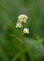 Grassland Saxifrage (RebelRob) Tags: saxifragaintegrifolia grasslandsaxifrage wildflowers wild vancouverisland victoriabc spring