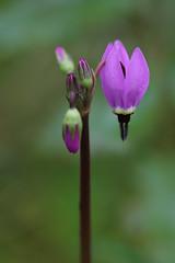 Shooting Star (RebelRob) Tags: dodecatheonpulchellum shootingstar wild wildflowers vancouverisland victoriabc spring
