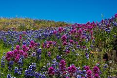 019_1617.jpg (dalelval) Tags: flowers tablemountain wildflowers