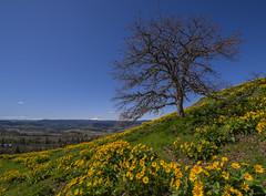 Balsamroot Mountain (John Behrends) Tags: