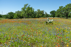 Wildflowers (Shiva Shenoy) Tags: spring 2019 texas wildflowers hillcountry landscape sony a6000 willowcityloop