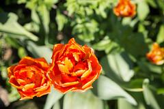 Emsland_Frühling_IMG_9050 (milanpaul) Tags: 2019 april blume canoneos6d deutschland frühling germany lingen niedersachsen tulpen