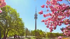 Olympiapark München. (joseph_donnelly) Tags: turm tower trees park kirschblüten kirschbaum kirschen blossom cherry olympiapark olympia germany munich münchen