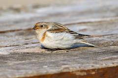 Snow Bunting (Dougie Edmond) Tags: bird nature wildlife