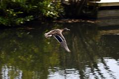 Basingstoke Canal Ash Vale - Ash 15 April 2019 008 (paul_appleyard) Tags: basingstoke canal ash vale surrey duck flying april 2019