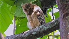 Buffy Fish Owl (Ric Seet.) Tags: sonya9 100400gm buffy fish owl bird