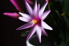 DSC_3167 Schlumbergera x buckleyi - Easter Cactus (PeaTJay) Tags: nikond750 sigma reading lowerearley berkshire macro micro closeups gardens indoors nature flora fauna plants flowers schlumbergera