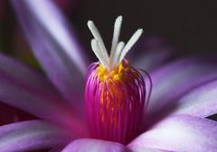 DSC_3171 Schlumbergera x buckleyi - Easter Cactus (PeaTJay) Tags: nikond750 sigma reading lowerearley berkshire macro micro closeups gardens indoors nature flora fauna plants flowers schlumbergera