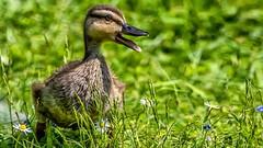 Quack (waynedavey67) Tags: canon canon7dmkii 7dmkii 600mmlf4 duck duckling quack nature wildlife wildandfree wild birds bird