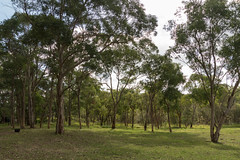 Rural Countryside (Merrillie) Tags: paddock countryside country thehillsshire gumtrees sydney australia southmaroota outdoors farm rural newsouthwales countrylife trees