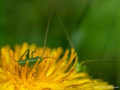 Come allo specchio (laura.mnz) Tags: fiore petali primavera colore giallo verde insetto antenne cavallette boke macro macromondays color spring yellow green