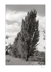 Poplars (radspix) Tags: yashica 230af kyocera af 70210mm f45 arista edu ultra 100 pmk pyro