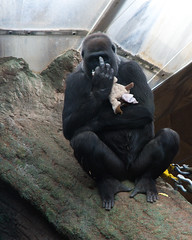 Gorilla Showing Off It's Finger (Rackelh) Tags: gorilla animal mammal ape finger funny zoo toronto ontario canada