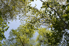 Green! (Coquine!) Tags: christianleyk london greatbritain batterseapark unitedkingdom england spring frühling primavera park wandsworth lookingup trees canopy baum green grün bluesky