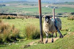 "SJ1_6989 - ""You scratch my back..."" (SWJuk) Tags: burnley england unitedkingdom swjuk uk gb britain lancashire home hurstwood moors moorland pipe post scratch sheep ewe grass countryside hillside hills 2019 apr2019 spring nikon d7200 nikond7200 nikkor1755mmf28 rawnef lightroomclassiccc"