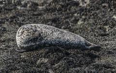 Looking Back (davidrhall1234) Tags: commonsealphocavitulina seal bull kerrera scotland argyll springwatch animal coastal coast conservation marine mammal nature nikon outdoors shore shoreline sea wildlife world