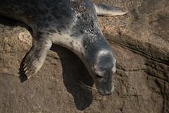 Grey Seal Pup navigating the rocks - Whitley Bay - Seen from Saint Marys Lighthouse (Matt Burke) Tags: grey seals whitley bay st marys lighthouse rocks pup