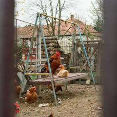 Az őrúr (sárkánymacska) Tags: olympus om2n zuiko 50mm 12 kakas vidék falu village kodak pro image 100