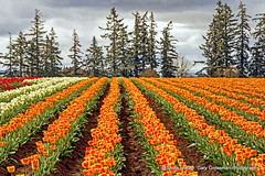 Sunshine On A Cloudy Day (Gary Grossman) Tags: tulips northwest spring oregon woodburn flowers beauty landscape garygrossman garygrossmanphotography landscapephotography woodenshoetulips cloudybright pacificnorthwest