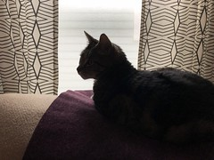 110/365 (moke076) Tags: 2019 365 project 365project project365 oneaday photoaday mobile cell cellphone iphone tommy cat animal pet grey gray tabby kitty laying down silhouette curtains westelm couch sofa dark light lighting