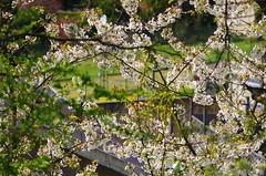 44 - Forbach en Avril 2019 (paspog) Tags: forbach forêt wald forest bois woods lorraine france printemps spring frühling avril april 2019 fleurs blumen flowers blossoms