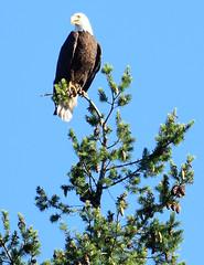 eagle (gwilli) Tags: animated gif wiggly fannybay islandtime2018 wildlife vancouverisland