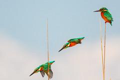 Common Kingfisher, Alcedo atthis (Mustafa Kasapoglu) Tags: commonkingfisher alcedoatthis yalıçapkını yaliçapkini kingfisher birds birdphotography birdwatching bird birding ornitology ornitologynature morning shine