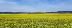 Mosterdplant  # 115 ( Explored 24-04-2019) (Meino NL) Tags: mosterdzaad sinapisalba gelemosterdzaad kruisbloemenfamilie brassicaceae sinapis france frankrijk mustardplant mosterdplant yellow explore explored