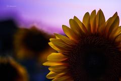 Sunflower by night (fabiog86) Tags: sunflower girasoli giralose fiore flowers night evening dark yellow 50mm 50mmlens canoneos60d canon nature natura natural blue fabiog
