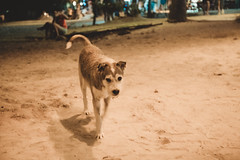 _MG_3277 (waychen_c) Tags: philippines ph visayas centralvisayas bohol provinceofbohol panglaoisland panglao municipalityofpanglao alonabeach night nightscape coast beach dog 菲律賓 維薩亞斯 維薩亞斯群島 中維薩亞斯 保和 保和省 邦勞 邦勞島 阿羅那海灘 海灘 沙灘 狗 犬 イヌ 南洋