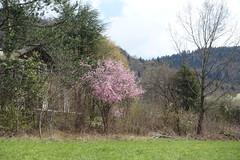 Cherry tree in bloom @ Bluffy @ Hike to Château de Menthon, Rochers des Moillats & Ermitage de Saint-Germain (*_*) Tags: 2019 printemps spring april afternoon europe france hautesavoie 74 annecy savoie bornes hiking mountain montagne nature randonnee walk marche bluffy