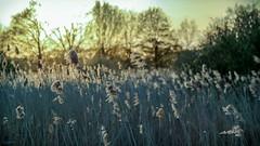 Sunset at Slangenborg (Ramireziblog) Tags: wind halmen pluimen riet nature natuurgebied westerwolde groningen campsite camping slangenborg de zonsondergang sunset