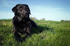 nice light (uwe.kast) Tags: labrador labradorretriever labradorredriver hund haustier dog bichou licht leica leicadg1260f2840 lumix panasonic g9